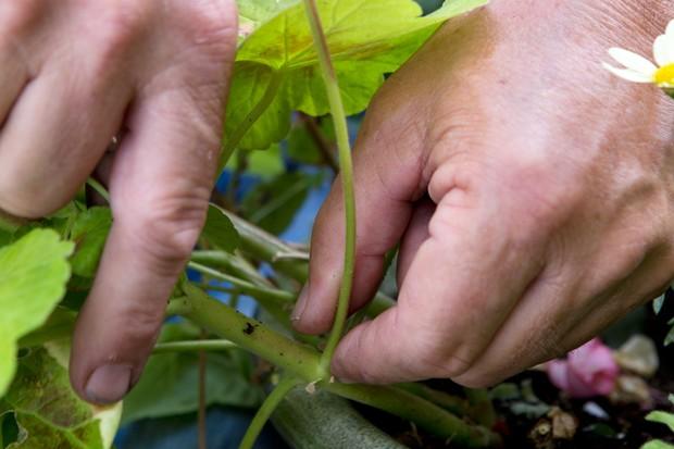 Picking off an old pelargonium bloom