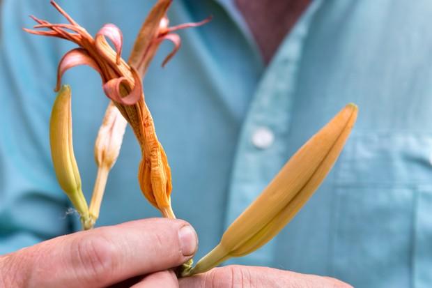 Deadheading daylilies