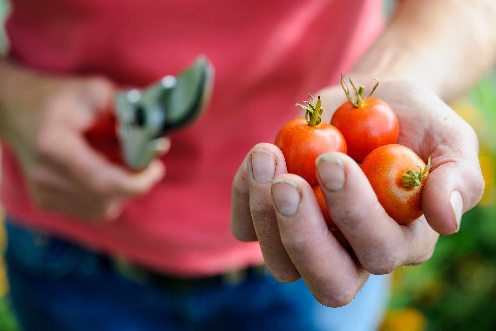 Picking the tomatoes