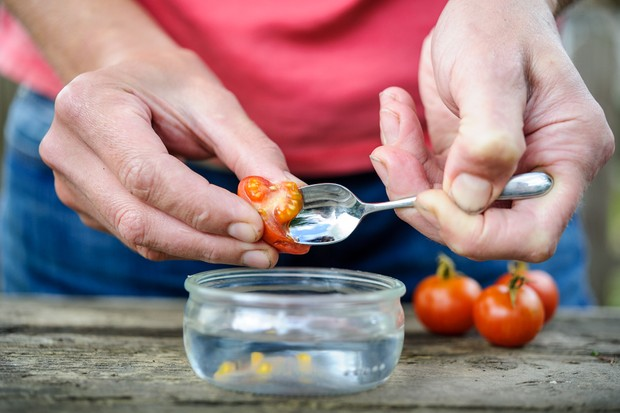 How to save tomato seed - scooping out the tomato seeds