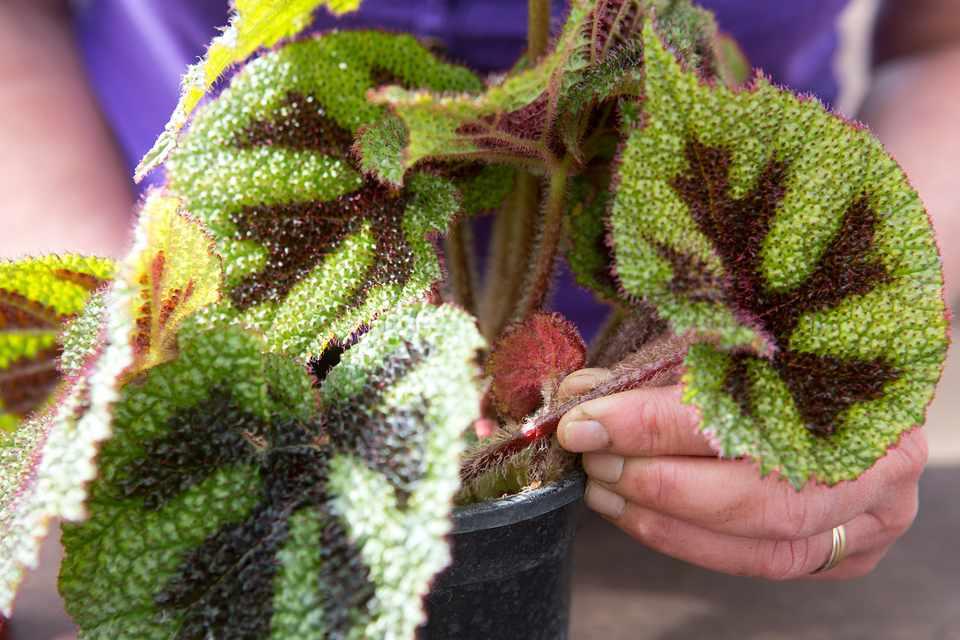 Propagating begonia