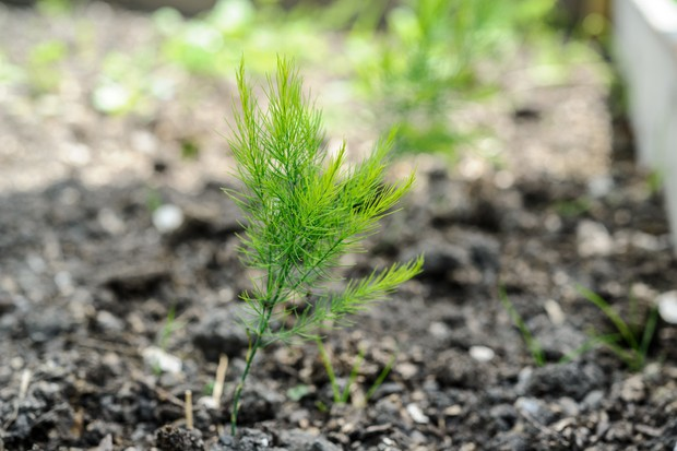 Newly emerged asparagus foliage