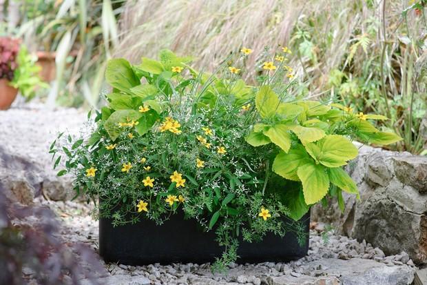 Bidens, coleus and euphorbia container