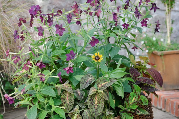Summer container planted up with nicotianas