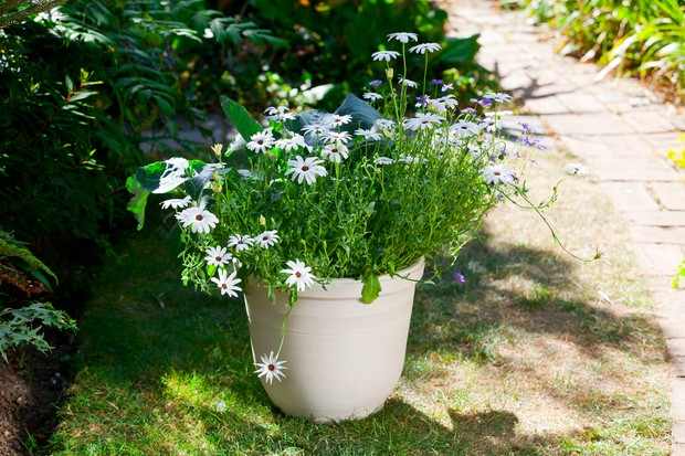 Daisy-filled summer container