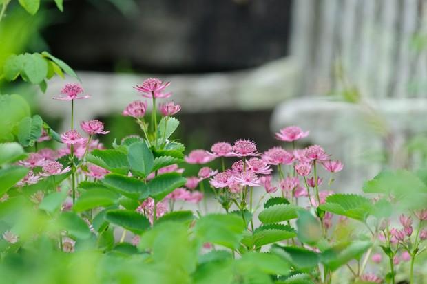 Pink flowering Astrantia 'Roma'