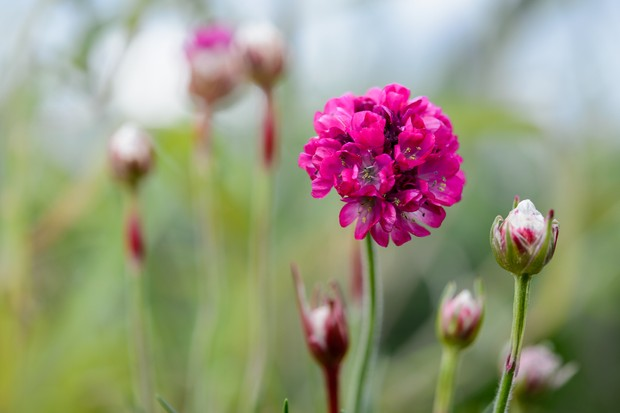 Deep pink Armeria maritima flowers