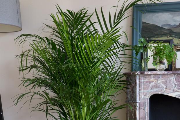 Tall fronds of Chrysalidocarpus lutescens