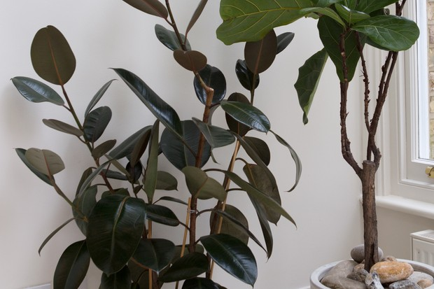Glossy leaves of rubber plant Ficus elastica 'Robusta'
