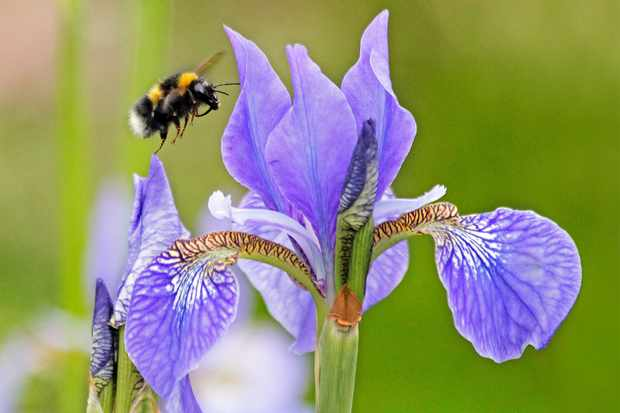 Garden bumblebee, Bombus hortorum