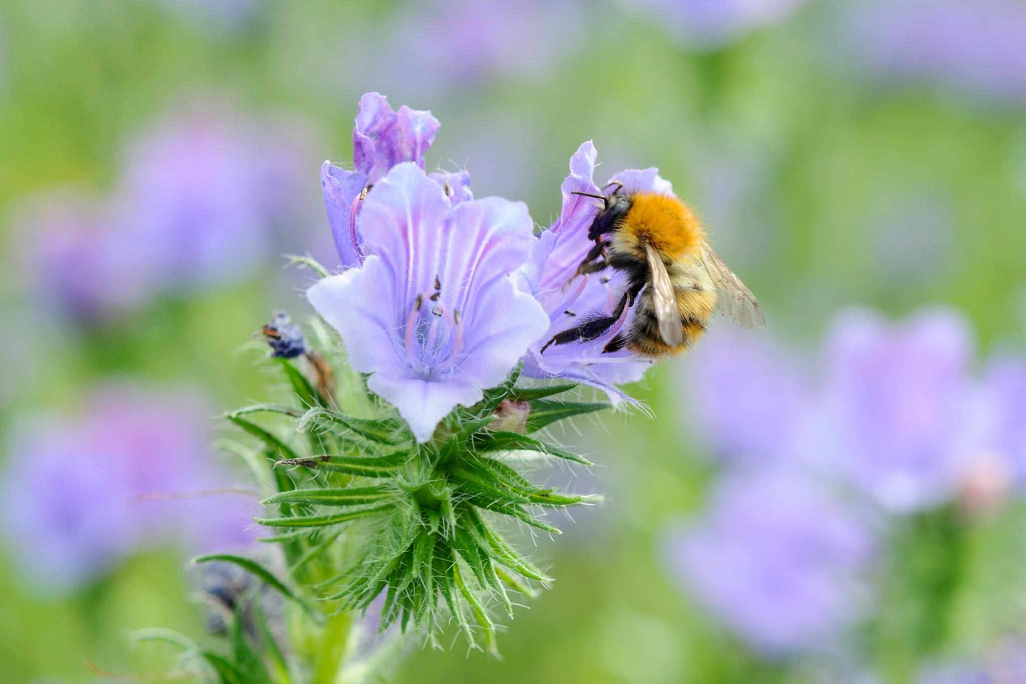 Common carder bumblebee feeding on a phacelia flower