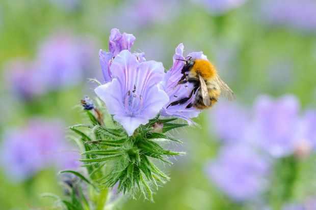 Common carder bumblebee feeding on a phacelia flower