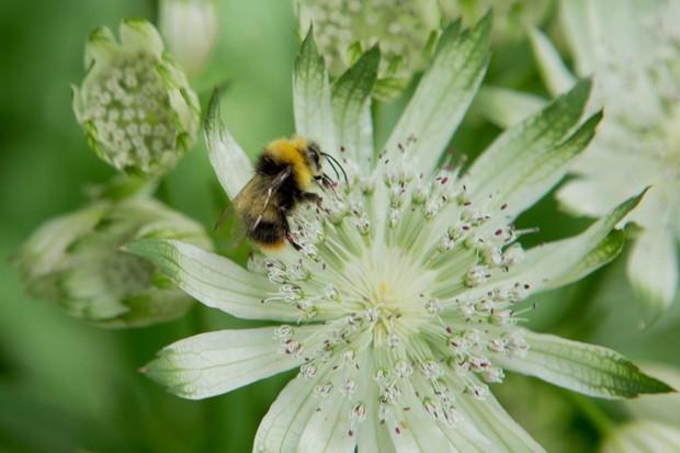 Early bumblebee, Bombus pratorum