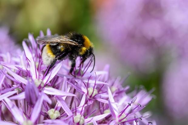 Southern cuckoo bee, Bombus vestalis