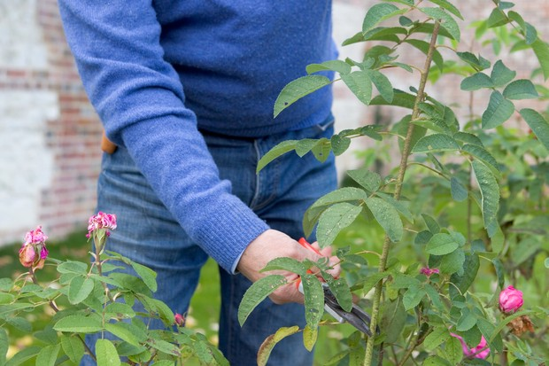 Selecting rose cutting material from the current year's growth