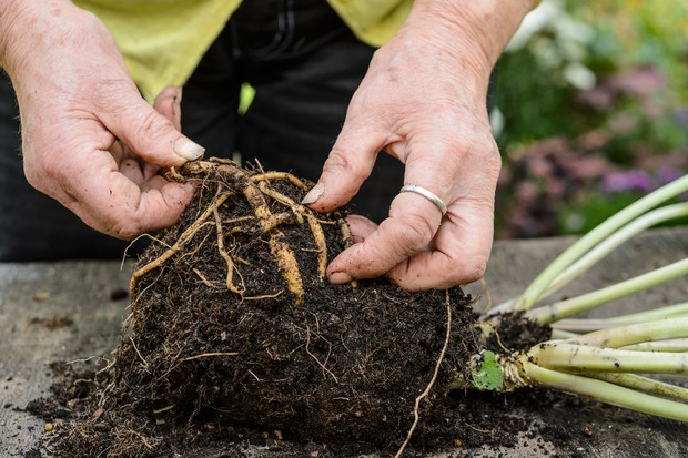 Exposing the roots of sea kale