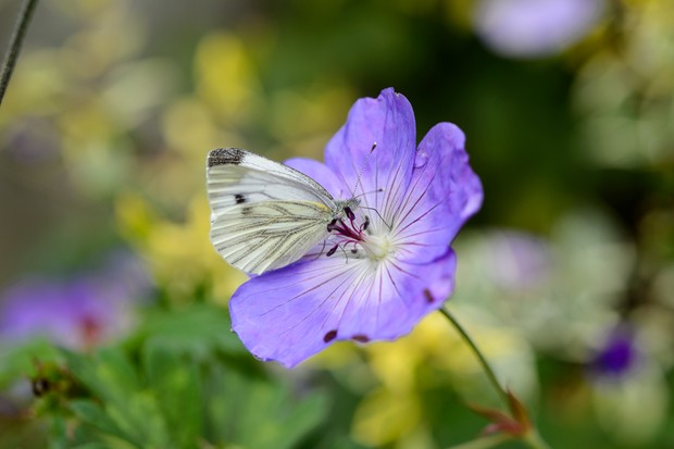 Green-veined white butterfly (Pieris napi)
