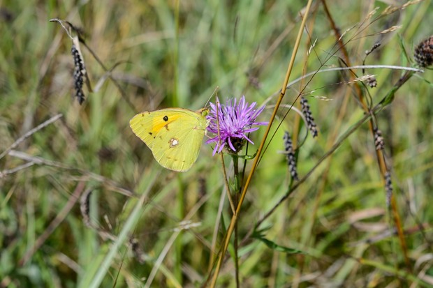 Clouded yellow butterfly (Colias croceus)