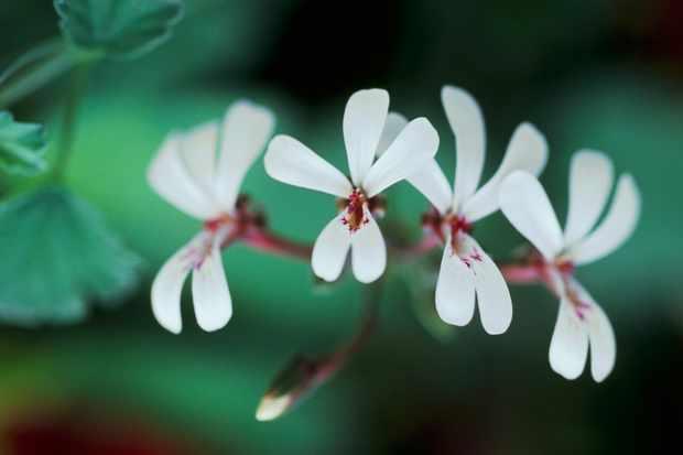 pelargonium-fragrans-group-2