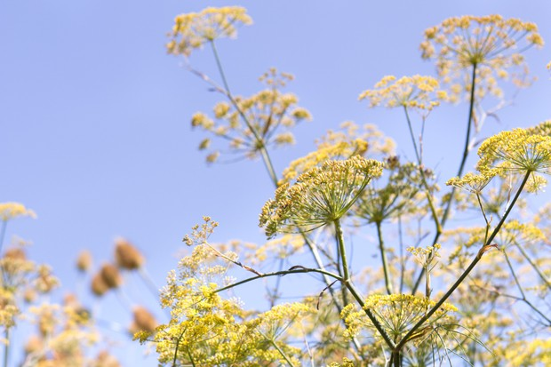 Yellow fennel flowers