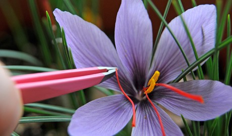 Picking harvesting saffron threads from saffron crocus (Crocus sativus) flowers