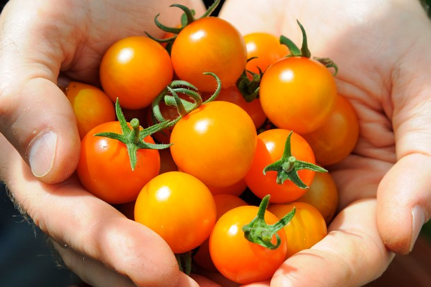 Hands-full of orange cherry tomatoes 'Sungold' AGM
