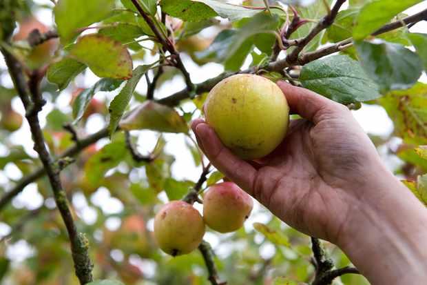 picking-apples-3
