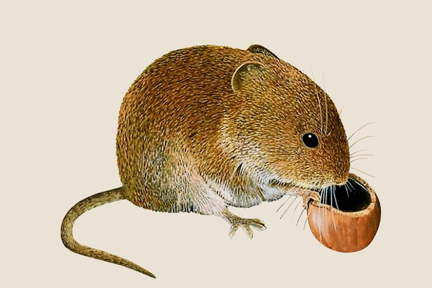An illustration of a yellow-brown field vole with a round face and ears almost hidden by fur, nibbling a hazelnut