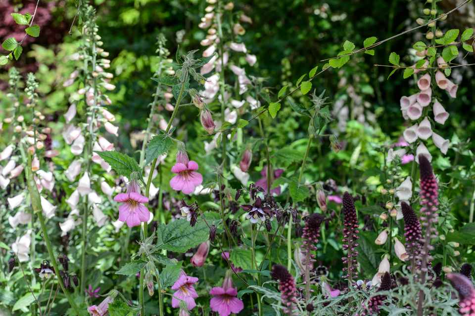 Pale foxglove flowers in a pink and cream mixed border