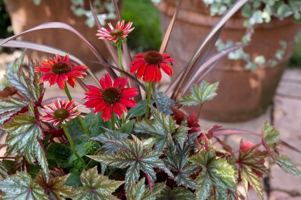 phormium-echinacea-begonia-pot-2