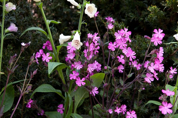 foxglove-and-campion-3
