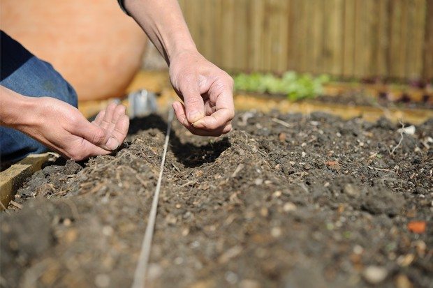 sow-the-seeds-along-the-drill-2