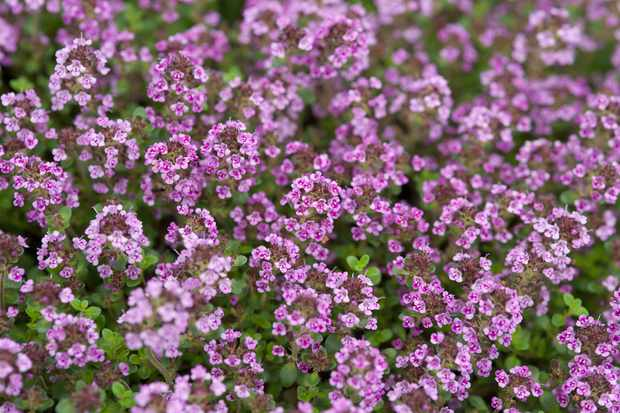 thymus-caborn-wine-and-roses-2