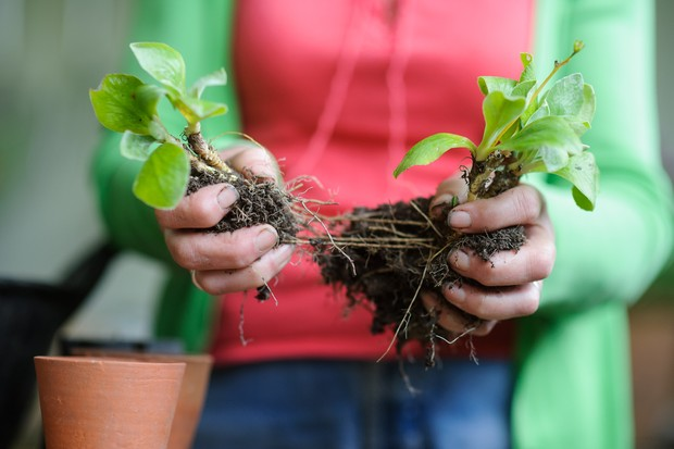 Pulling the auricula rootball apart