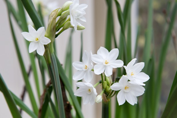 paperwhite-narcissi-9