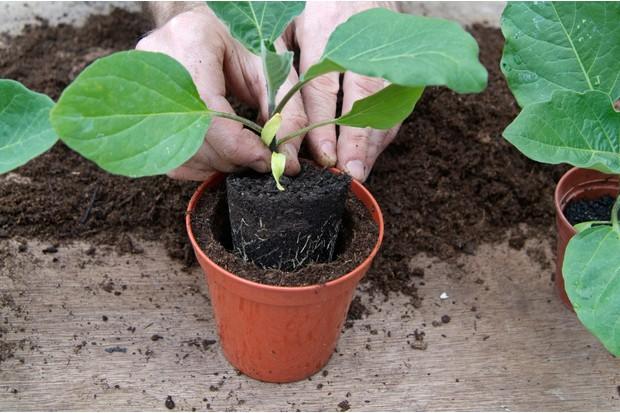 transplanting-aubergine-into-10cm-pot-2