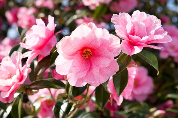 pink-camellia-in-flower-2