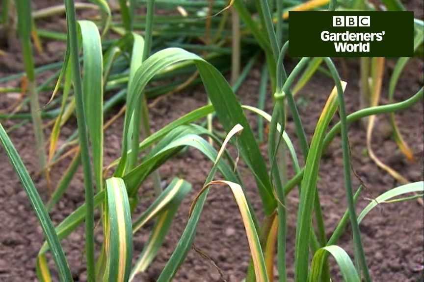 How to harvest garlic bulbs