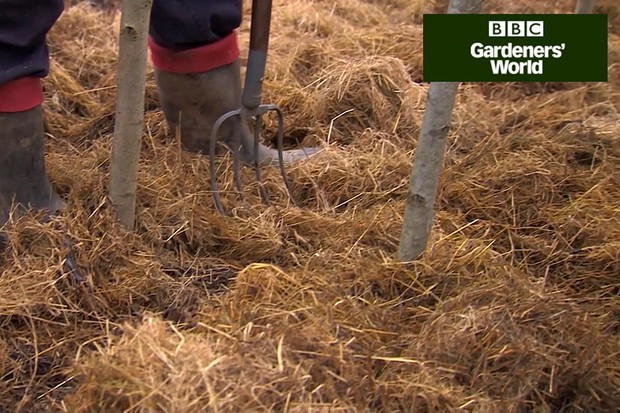 How to mulch raspberry canes