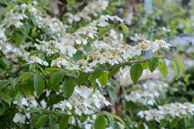 viburnum-plicatum-2