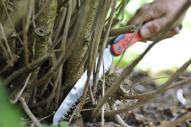 Thinning out stems with a pruning knife