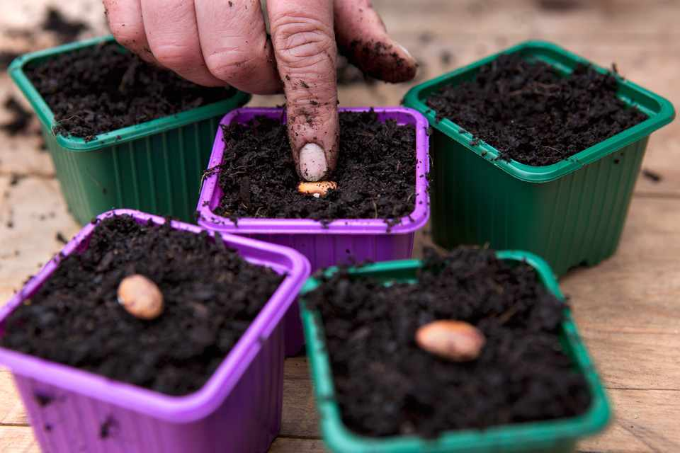How to plant out runner beans