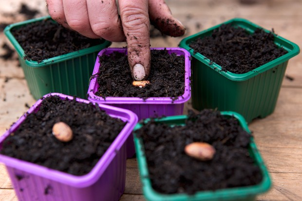 Sowing bean seeds in pots