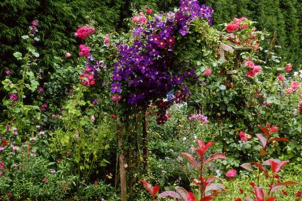 Clematis and roses growing over an arch. Credit: Getty Images