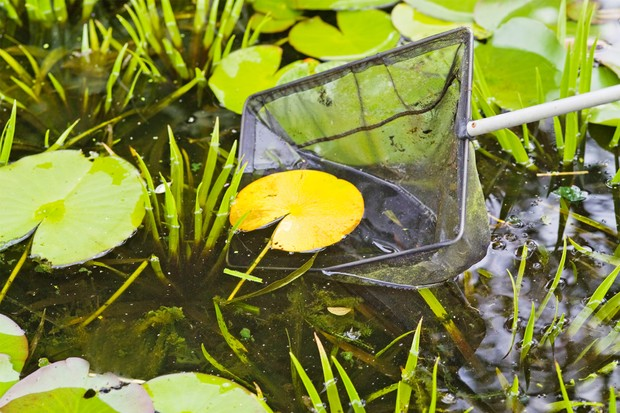 Scooping up a yellow, dying waterlily leaf with a pond net