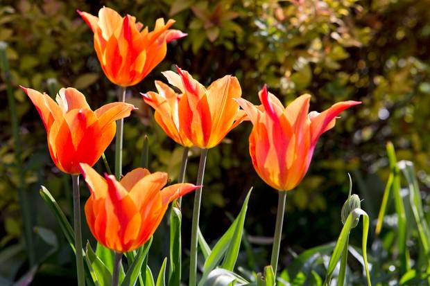 orange-tulip-ballerina-3