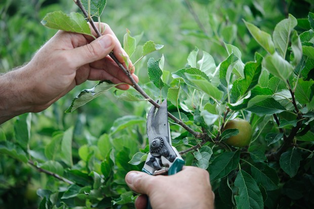pruning-fruit-trees-2