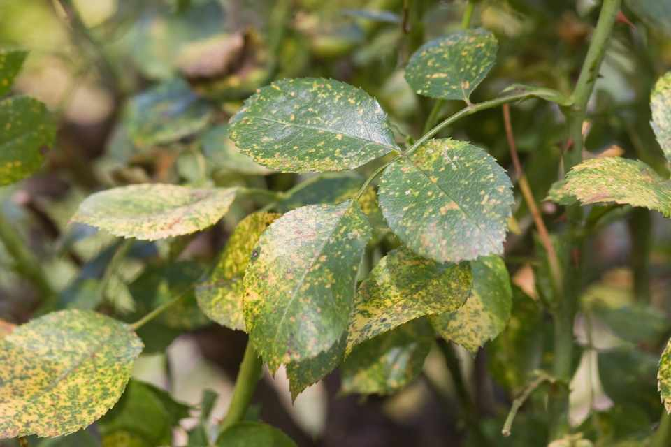 Yellow/orange speckling on rose leaves: early signs of rose rust