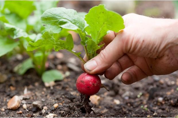 harvesting-radish-4