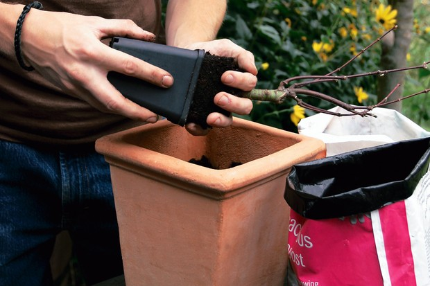 Fill the container with compost and remove the acer from its pot